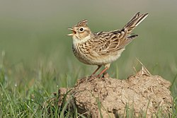 Skylark (Alauda arvensis) by Neil Smith.jpg