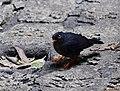 Slaty-backed nightingale-thrush 2018.jpg