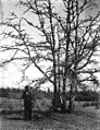 Slugumus Koquilton, Muckleshoot Indian, standing next to oak trees on prairie near Sequalitchew Lake, Washington, April 1906 (BAR 220).jpeg