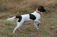 Munster Dog Breed