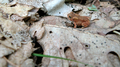 Small toad, orange coloring (6083965173).png