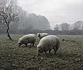 Smoked sheep - Flickr - stanzebla.jpg