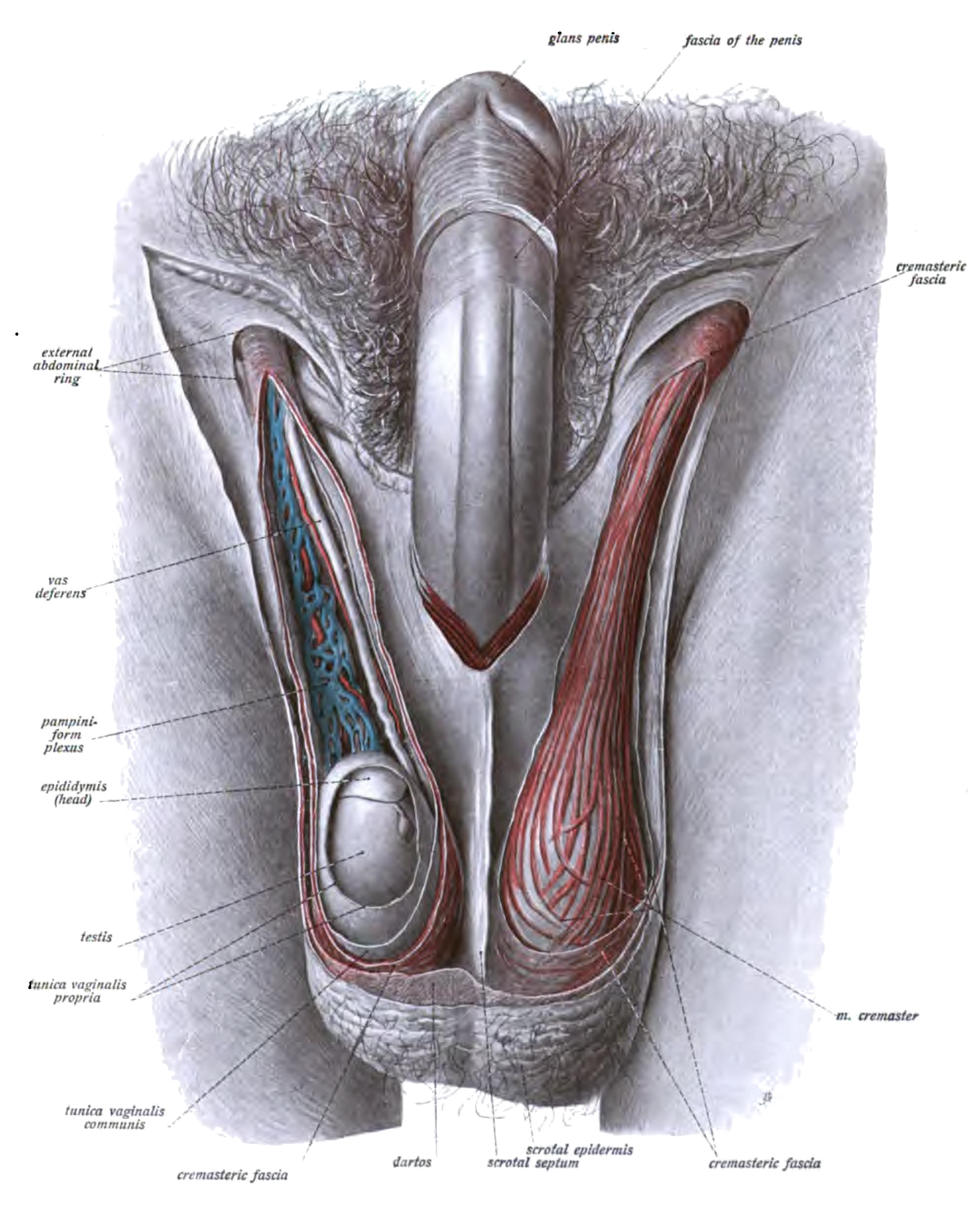 sex organs of the human male