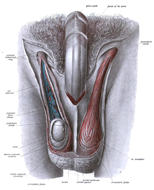 Reproductive System Learnbiology