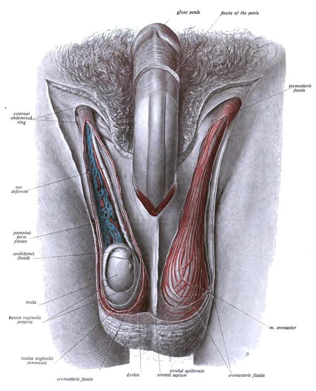 Зрелы мужские органы фото 700-24