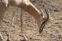 Soemmerring's Gazelle, St. Louis Zoo.jpg