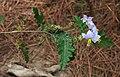 Solanum sisymbriifolium 3.jpg