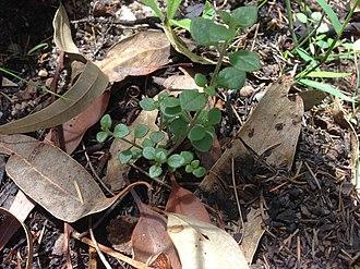 Brisbane Water National Park - Somersby mintbush