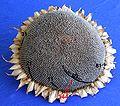 Sonnenblume fibonacci89 144sr.jpg