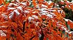 Sorbus Herbstlaub 16.jpg