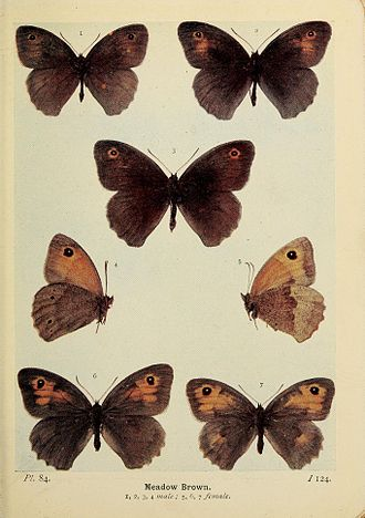 Meadow brown - Figures 1–4 male and 5–7 female