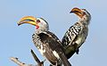 Southern Yellow-billed Hornbill, Tockus leucomelas, at Elephant Sands Lodge, Botswana (32165899301).jpg