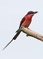 Southern carmine bee-eater, Merops nubicoides, Savuti marsh, Chobe National Park, Botswana (32421988666).jpg