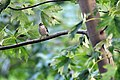 Sparrow on Branch (4838862589).jpg