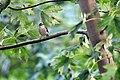Sparrow on Branch (4838862589).jpg