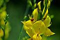 Spartium junceum Crete 1.jpg