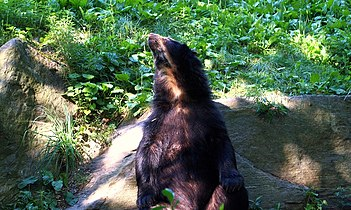 Spectacled Bear 161 (4).jpg