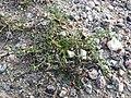 Spergularia marina sl52.jpg