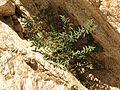 Spiny Cliffbrake - Flickr - treegrow.jpg