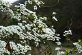 Spiraea prunifolia var. simpliciflora 2014년 4월 9일 (13768079373).jpg