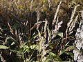 Spodiopogon rhizophorus (5284871673).jpg