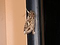 Spodoptera litura (41101884921).jpg