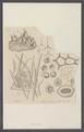 Spongia spec. - - Print - Iconographia Zoologica - Special Collections University of Amsterdam - UBAINV0274 112 02 0041.tif