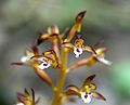 Spotted Coral Root (Corallorhiza maculata) in northern Illinois - Flickr - Jay Sturner (1).jpg