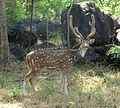 Spotted Deer or Chital. Cervus axis - Flickr - gailhampshire (2).jpg
