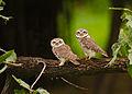 Spotted owlet (Athene brama.jpg