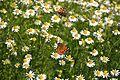 Spring Butterfies (5075150380).jpg