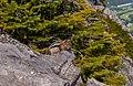 Squirrel On Mountain (205763521).jpeg