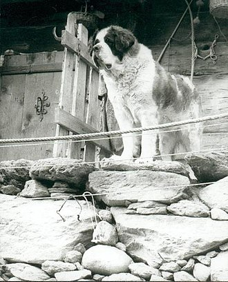 St. Bernard (dog) - St. Bernard rescue dog in Valais