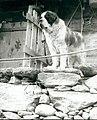 St Bernhard dog (bw).jpg