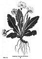 Stackhouse Primula-vulgaris.jpg