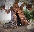 Stamm eines 1000 jährigen Olivenbaums in Canet lo Roig, Spanien.jpg