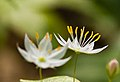 Star Flower (14178655679).jpg