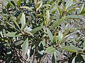 Starr-030222-0042-Myoporum sandwicense-leaves-Auwahi-Maui (24593821666).jpg