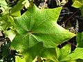 Starr-050303-4820-Kokia cookei-leaf-Maui Nui Botanical Garden-Maui (24713579606).jpg