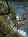Starr-050405-5848-Schinus terebinthifolius-habit-Keopuka-Maui (24649409251).jpg