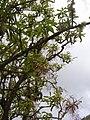 Starr-060429-9465-Charpentiera obovata-panicles-Auwahi-Maui (24744669252).jpg