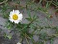 Starr-070621-7437-Erigeron karvinskianus-flower-Kawehi Rd Kula-Maui (24261671844).jpg