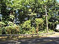 Starr-090610-0469-Antigonon leptopus-wilding habit-Haiku-Maui (24870306881).jpg
