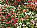 Starr-090714-2746-Impatiens walleriana-flowers mixed colors-Kapalua-Maui (24602049579).jpg