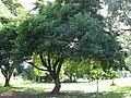 Starr-091104-0824-Artocarpus lingnanensis-habit-Kahanu Gardens NTBG Kaeleku Hana-Maui (24360803853).jpg