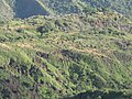 Starr-091112-9576-Psidium guajava-aerial view-West Maui-Maui (24871671972).jpg