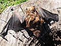 Starr-100907-9065-Eucalyptus sp-habitat with Hawaiian hoary bat Lasiurus cinereus semotus-Olinda-Maui (24755799350).jpg