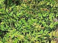 Starr-110215-1360-Nandina domestica-habit-KiHana Nursery Kihei-Maui (24449310283).jpg