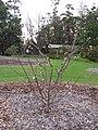 Starr-110217-1497-Prunus persica var persica-Florida Prince flowering and immature fruiting habit-Olinda-Maui (24445729934).jpg
