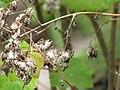 Starr-110307-2563-Roldana petasitis-seeds-Kula Botanical Garden-Maui (24782704880).jpg